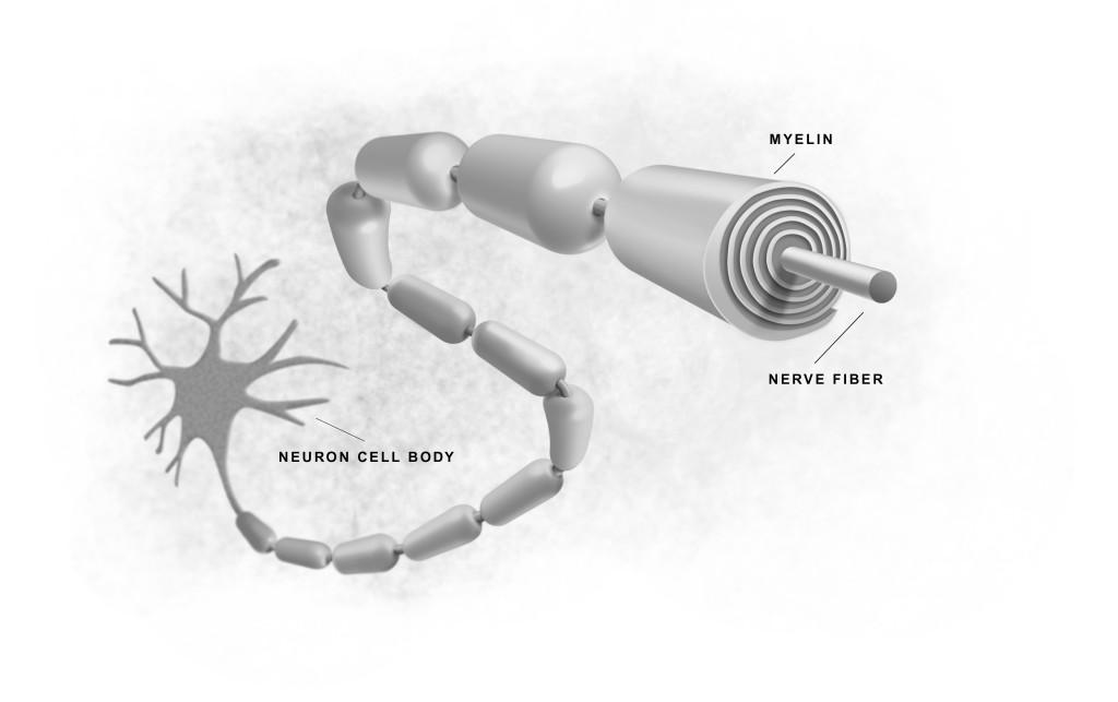Myelin and skill